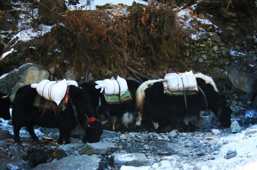 Yaks grazing in Khumbu valley