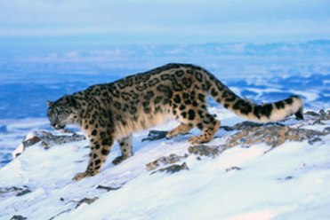 Endangered species of Snow Leopard found in North-eastern region of Nepal