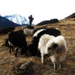 Baby Yaks grazing in Everest region
