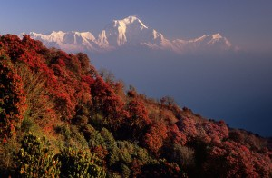 rhododendron forest annapurna