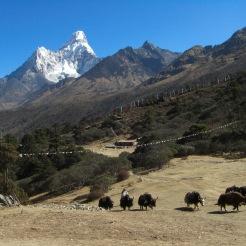 Yaks grazing at Ama Dablam region
