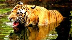 Royal bengal tigers chitwan