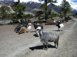 Mountain goats (Chyangra) in the fields