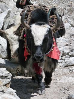 Dzo hybrid yak
