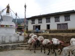 Mules carrying loads khumbu
