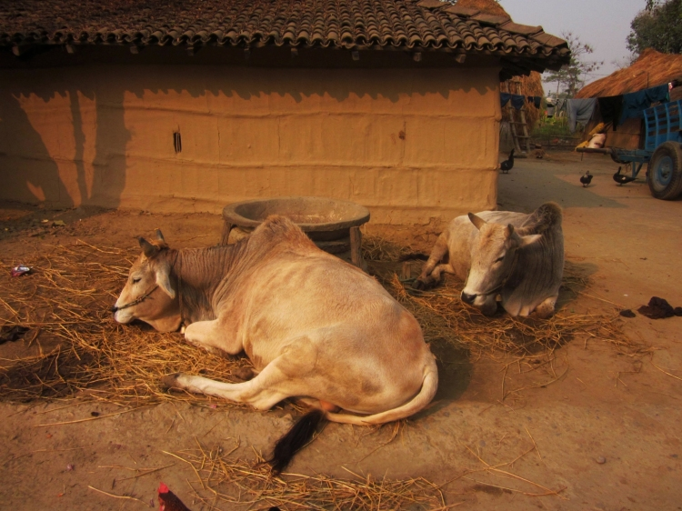 Cattles seen in a Tharu village in Bardia