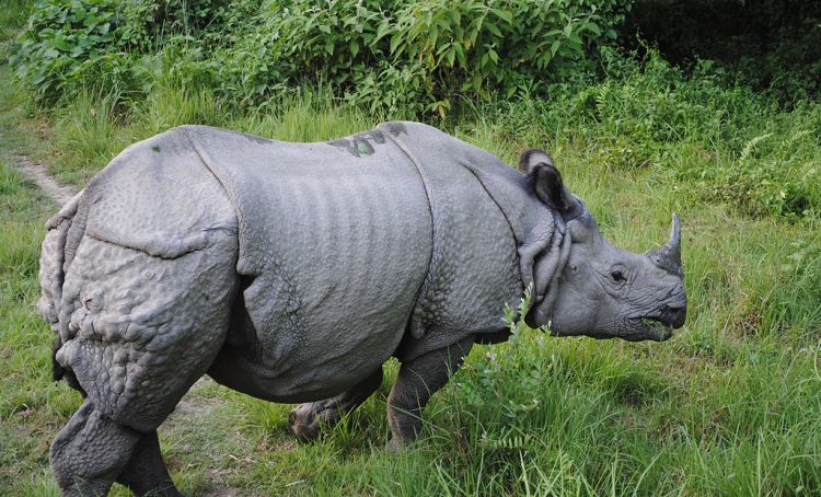 One-horned rhino in Bardia