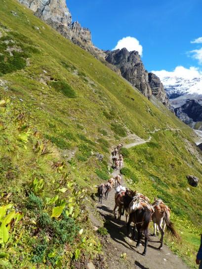 Mules carrying loads in Annapurna