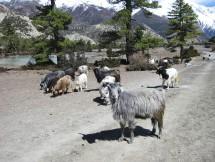 Sheep herding in Manang