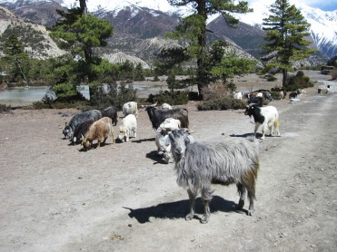 Sheep herding in Manang