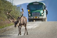 A Caribou seen on road inside Denali park