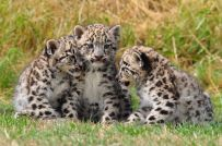 2 months old snow leopard cubs