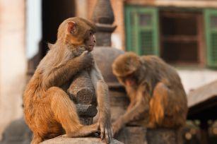 Macaques seen at Swayambhunath
