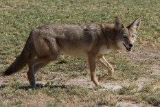 Coyote, canus latrans