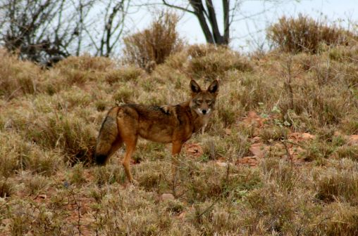 A coyote seen in Mexico