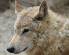 Wolly wolf