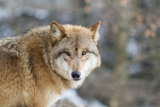 Wolly wolf or Himalayan wolf