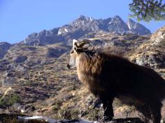 Himalayan Tahr seen in Dolpo