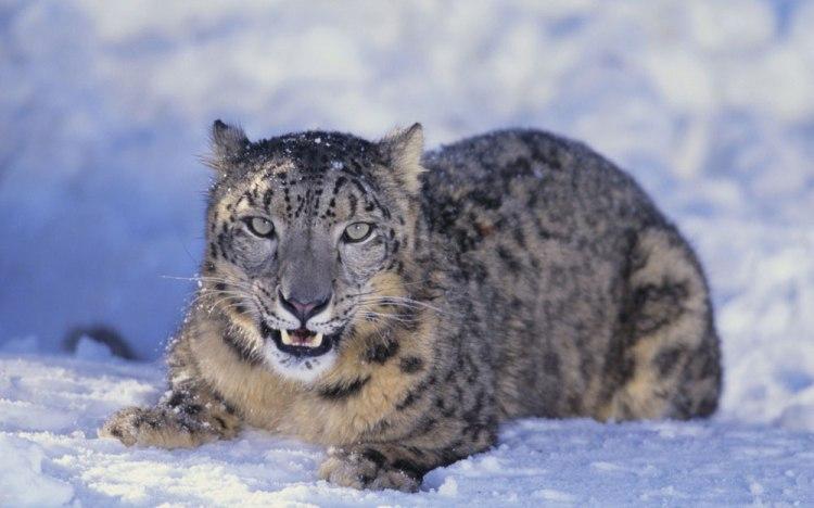 Snow Leopard sagarmatha national park